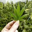 piantagione cannabis monte faito